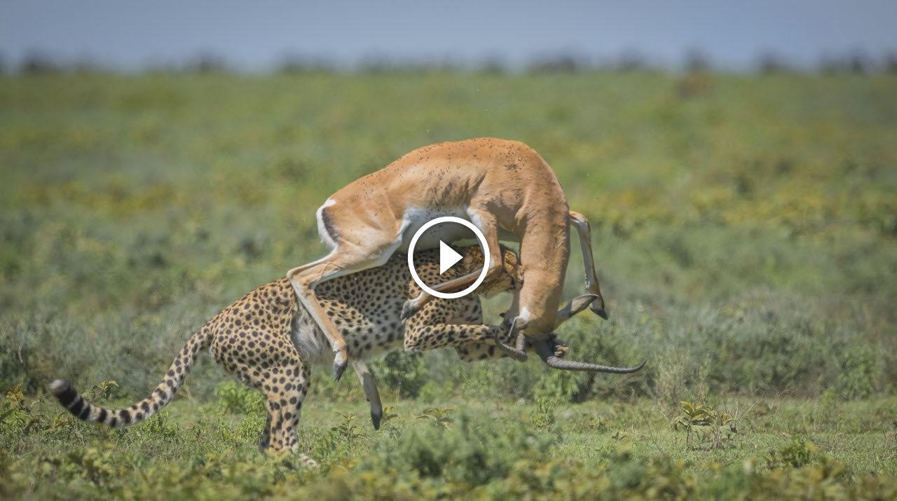 شاهد غزالة تقضى على نمر بطريقة عجيبة