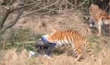 شاهد بالفيديو نمر يفترس رجل امام طفلته