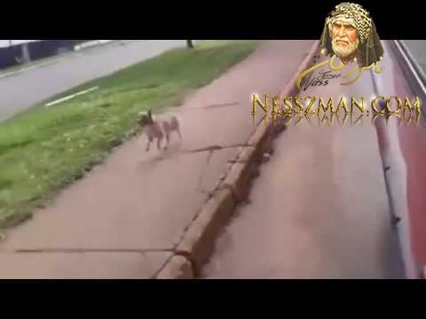 كلب يركض خلف سيارة الإسعاف التي تحمل سيده